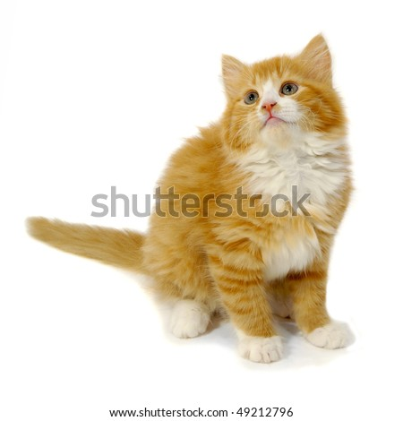 Red cat kitten is sitting on a white background - stock photo