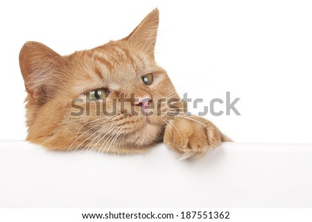 Red cat looks across a white wall sideways