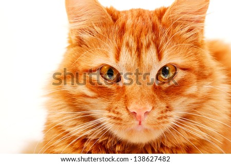 Red cat lying and posing at studio, closeup portrait on white background - stock photo