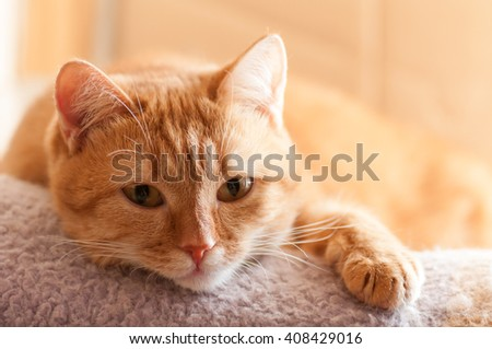 red cat lying looking right - stock photo
