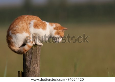 Red cat on a pole staring at the ground - stock photo