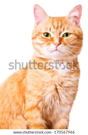 Red cat on a white background, isolated - stock photo