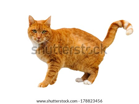 Red cat on a white background, The Netherlands