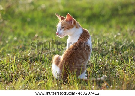 Red cat  playing on the grass in warm evening