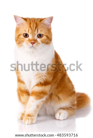 red cat sits on a white background.looking ahead