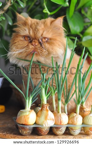 Red cat sitting by the onion. - stock photo