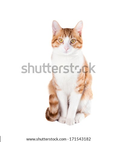 Red cat sitting neatly on a white background - stock photo
