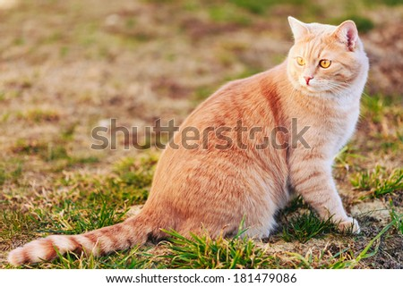 Red cat sitting on green spring grass. Outdoor portrait - stock photo