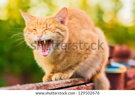 Red cat sitting on the fence and roaring or yawning - stock photo