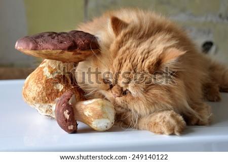 Red cat smells big mushroom. - stock photo