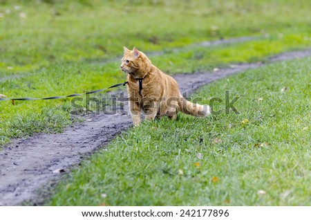 Red cat walking through the green grass on a leash stares into the distance - stock photo