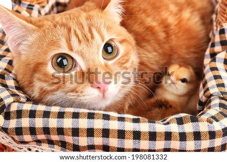 Red cat with cute chickens in basket close up - stock photo