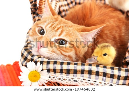 Red cat with cute ducklings in basket close up - stock photo