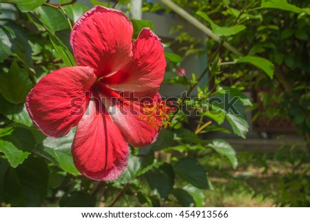 Red Chaba (Chinese rose), Focus on flower