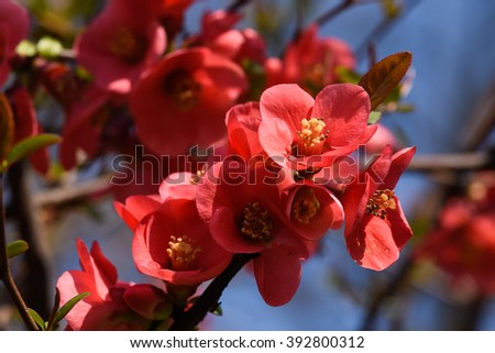 red Chaenomeles against blurred blue sky background close up