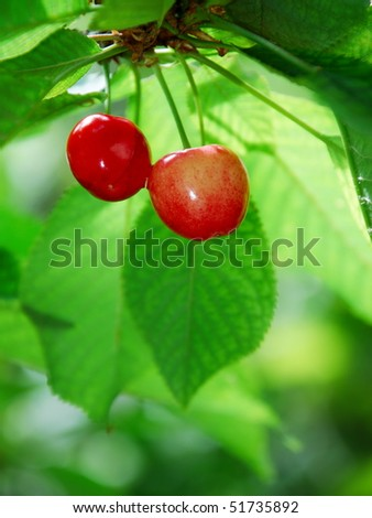 Red cherries hanging from tree