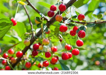 Red cherries on the branches, summer day - stock photo