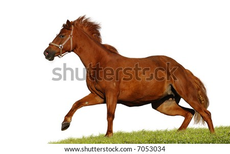 red chestnut mare