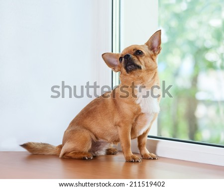 Red chihuahua dog sitting on window sill and looks into the distance. - stock photo