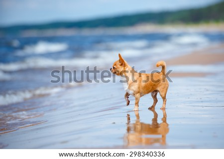 red chihuahua dog standing on the beach - stock photo