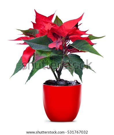 Red Christmas flower Poinsettia in flowerpot isolated on white background.