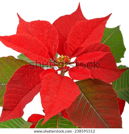 Red Christmas star isolated on white. - stock photo