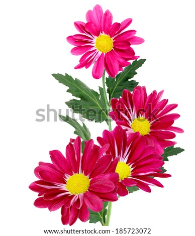 red chrysanthemum bouquet - stock photo