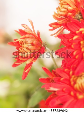 red chrysanthemum flower ,the effect has been applied - stock photo