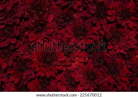 Red chrysanthemum flowers background