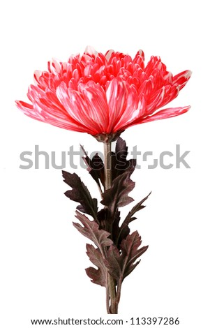 Red Chrysanthemum Flowers isolated on white background - stock photo