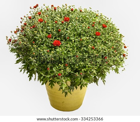 Red Chrysanthemum in yellow pot, Isolated on white
