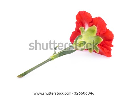 red chrysanthemum isolated on white background