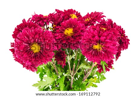 Red chrysanthemums bouquet isolated on a white background