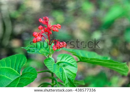 Red Clerodendrum Paniculatum. Pagoda flower in in Tangkoko National Park. North Sulawesi. Indonesia