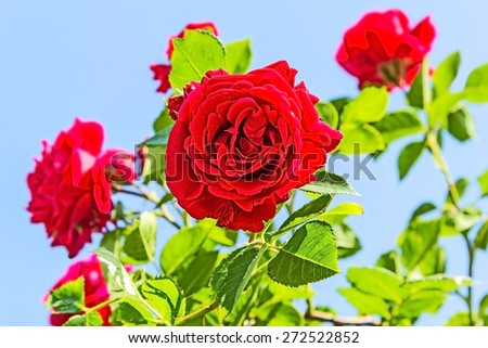 Red climbing roses against a blue sky, backlit. Selective focus