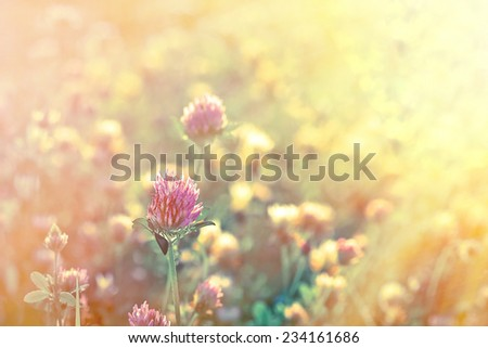 Red clover illuminated by the rays of the setting sun - stock photo
