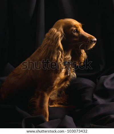 red cocker spaniel is sitting on black textile background - stock photo