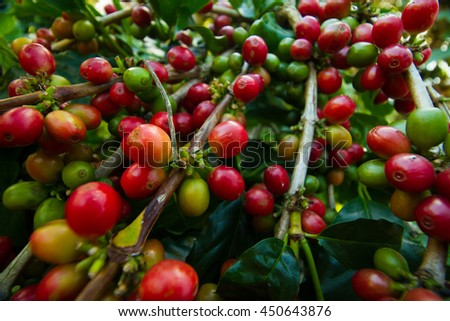 red coffee beans on a tree - stock photo