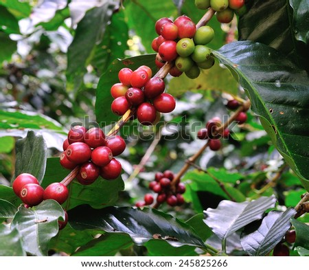 red coffee beans on coffee tree - stock photo