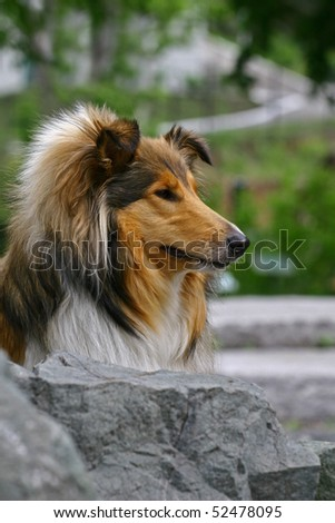 Red colie dog on a grey stone - stock photo