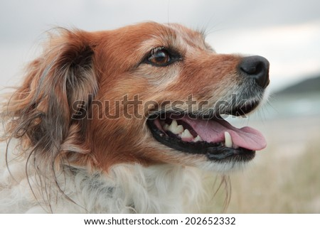 red collie type dog at a southern hemisphere beach