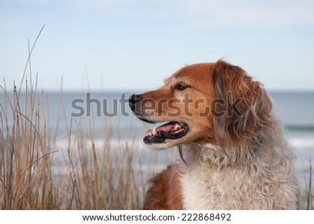 red collie type dog siting on top of a sand hill above a surf beach - stock photo