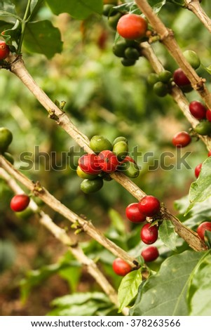 Red colombian coffee bean. Industrial plantation agriculture in Montenegro, Department of Quindio, Colombia Coffee Growing. - stock photo