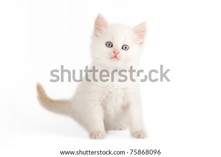 Red color point siberian kitten on white background - stock photo