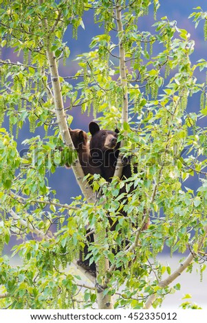 Red Colored Black Bear mother and baby cub climbing in a tree top in the summer time, Jasper National Park Alberta Canada - stock photo