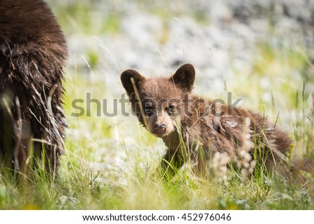 Red Colored Black Bear mother and baby cub playing in the lake on a hot summer day, Jasper National Park Alberta Canada - stock photo
