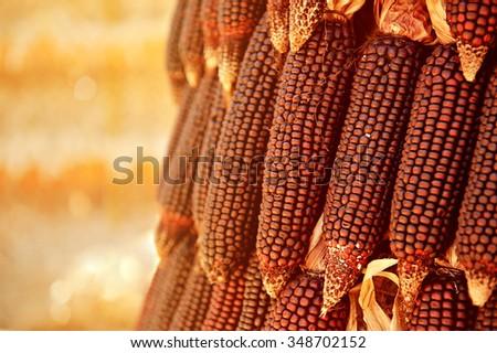 red corn  - stock photo