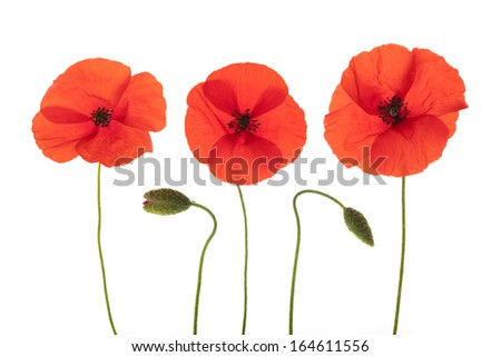 Red Corn Poppies and flower buds arranged in a row isolated on white background with shallow depth of field. - stock photo