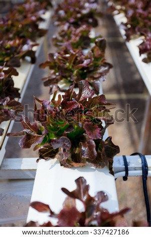 Red cos lettuce / Butter head hydroponics vegetable farm in Thailand. - stock photo