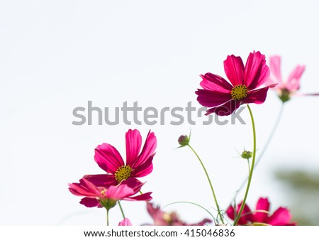 Red cosmos flowers in the field with sky background.